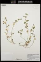 Image of Trifolium tomentosum