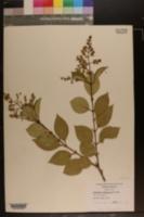 Ligustrum japonicum image