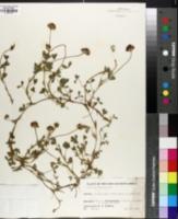 Image of Trifolium africanum