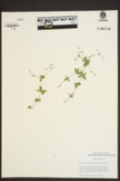Galium circaezans var. circaezans image