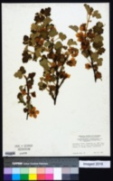 Image of Fremontodendron decumbens