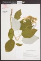 Image of Hydrangea radiata