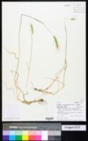 Hordeum jubatum subsp. intermedium image