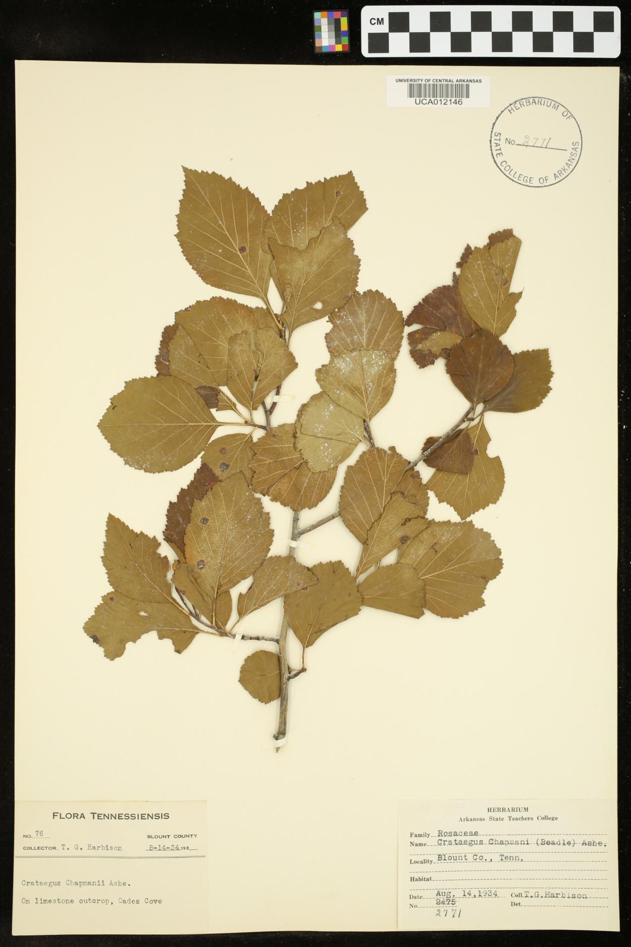 Crataegus chapmanii image