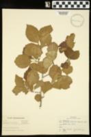 Image of Crataegus chapmanii