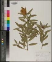 Callistemon speciosus image