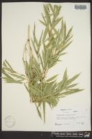 Image of Phyllostachys bissetii