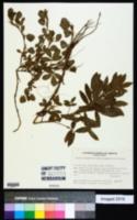 Image of Arachis kempff-mercadoi