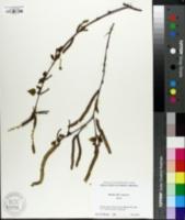 Image of Betula albosinensis