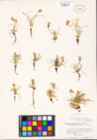 Agoseris monticola image