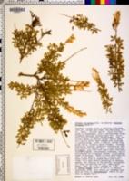 Image of Cytisus racemosus