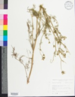 Image of Ptilimnium capillaceum