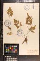 Asplenium pumilum image