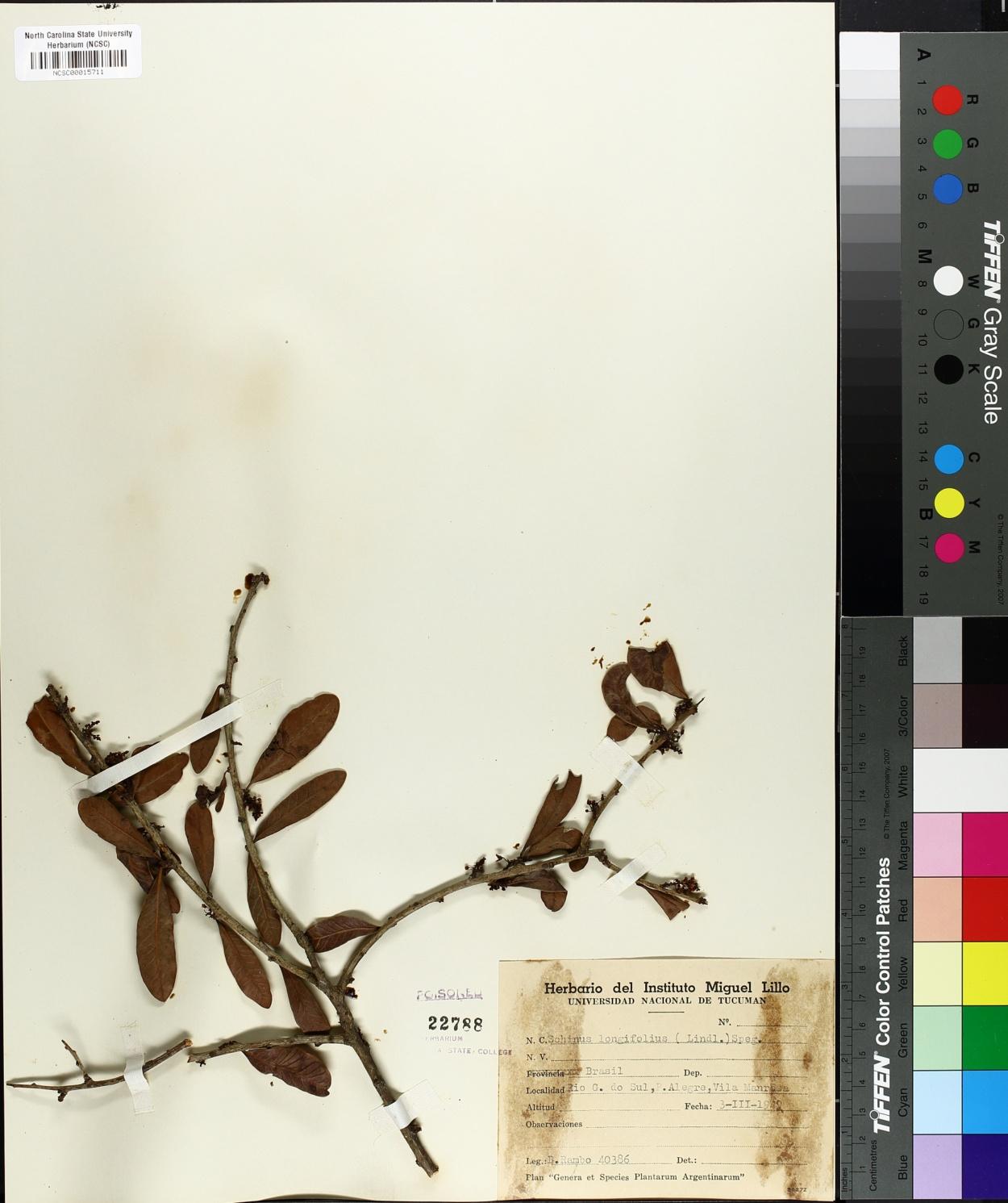 Schinus longifolius image