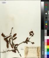 Image of Schinus longifolius