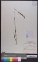 Spiranthes vernalis image