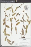 Deeringothamnus pulchellus image