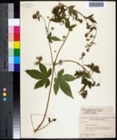 Image of Humulus scandens