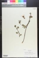 Chaenomeles lagenaria image