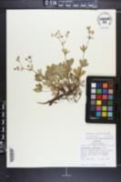 Sibbaldiopsis tridentata image