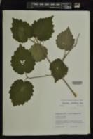 Viburnum ozarkense image