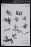 Image of Selaginella basipilosa