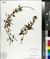 Image of Acer crataegifolium
