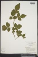 Rhus aromatica image