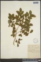 Vaccinium ovalifolium image