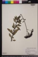 Trachelium caeruleum image