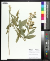 Image of Solidago buckleyi