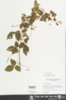 Urvillea ulmacea image