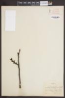 Image of Prunus pseudocerasus