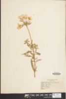 Image of Oenothera drummondii