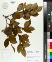 Image of Camellia oleifera