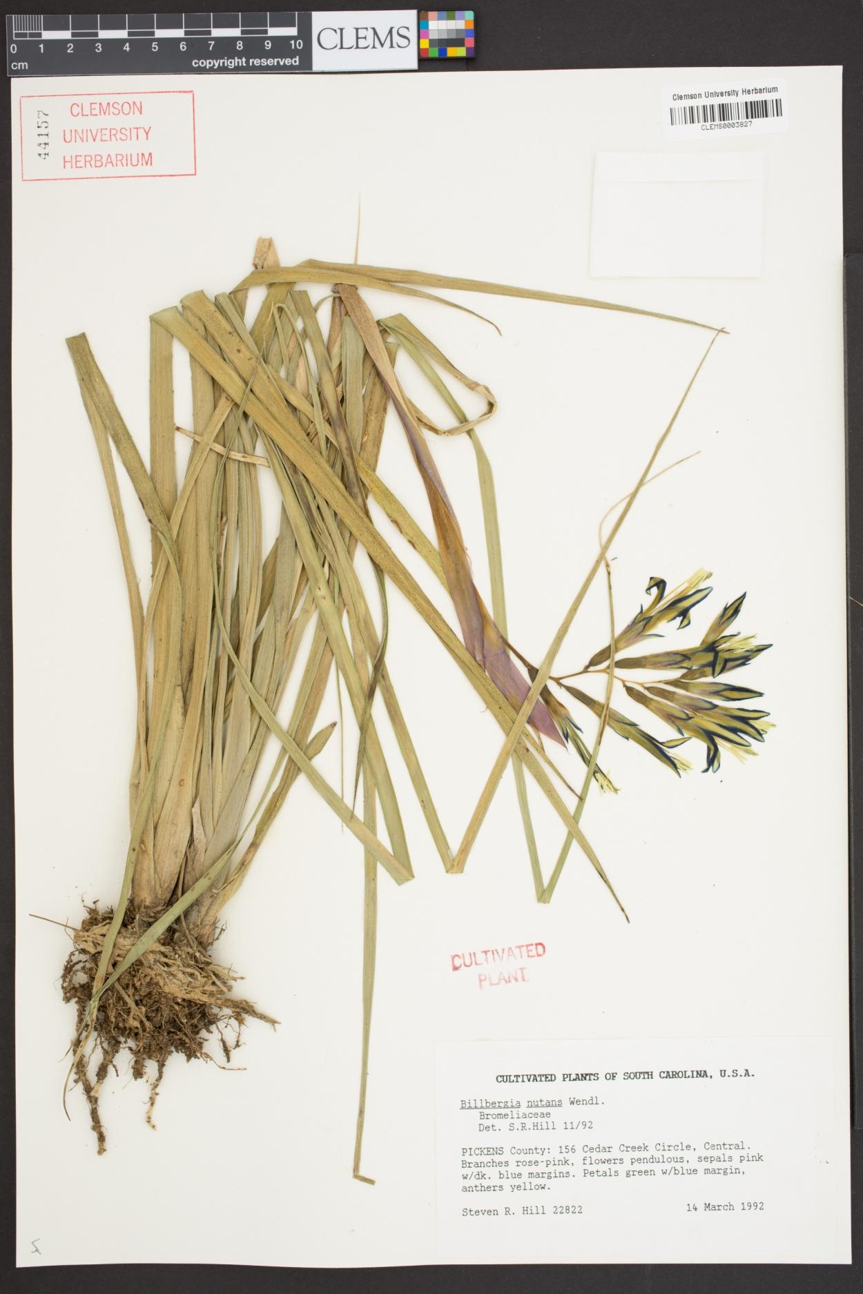 Billbergia nutans image