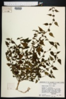 Fatoua villosa image