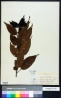 Image of Catalpa longissima