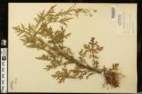 Parthenium hysterophorus image