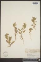 Image of Phacelia phacelioides