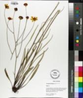 Coreopsis floridana image