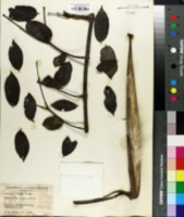 Image of Strophanthus hispidus