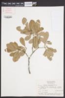 Quercus virginiana image