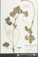 Image of Hydrocotyle javanica