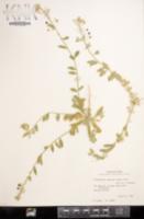 Lesquerella argyraea image