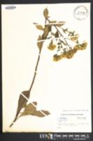 Sericocarpus asteroides image