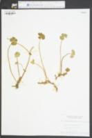 Hydrocotyle ranunculoides image