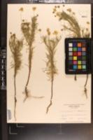Helenium amarum image