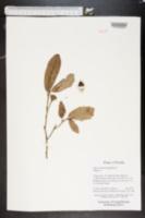 Quercus minima image