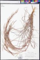 Andropogon maritimus image